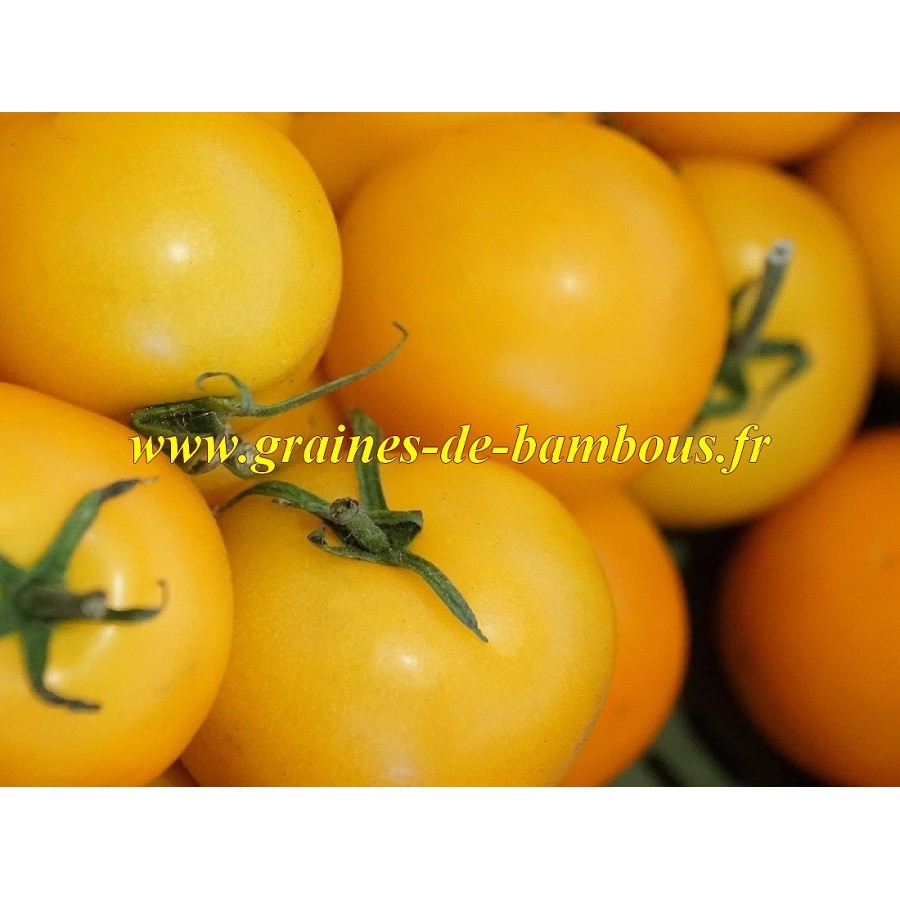 Tomate goldene konigin reine d or