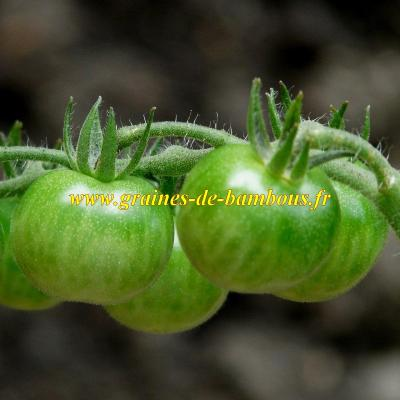 Tomate cerise green Grape réf.544