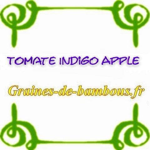 Tomate indigo blue apple