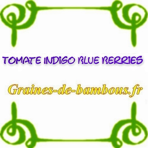 Tomate indigo blue berries graines