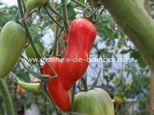 Tomate Jersey Devil Réf.817