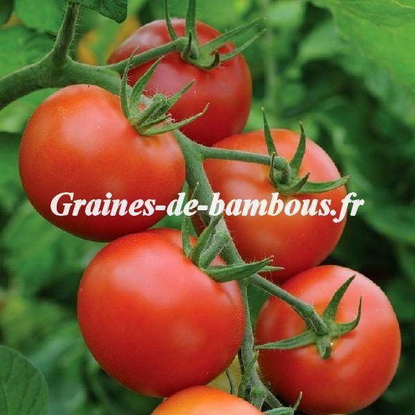 Tomate moneymaker grainesdebambous com