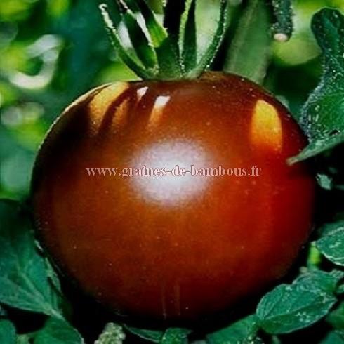 Tomate noire black prince
