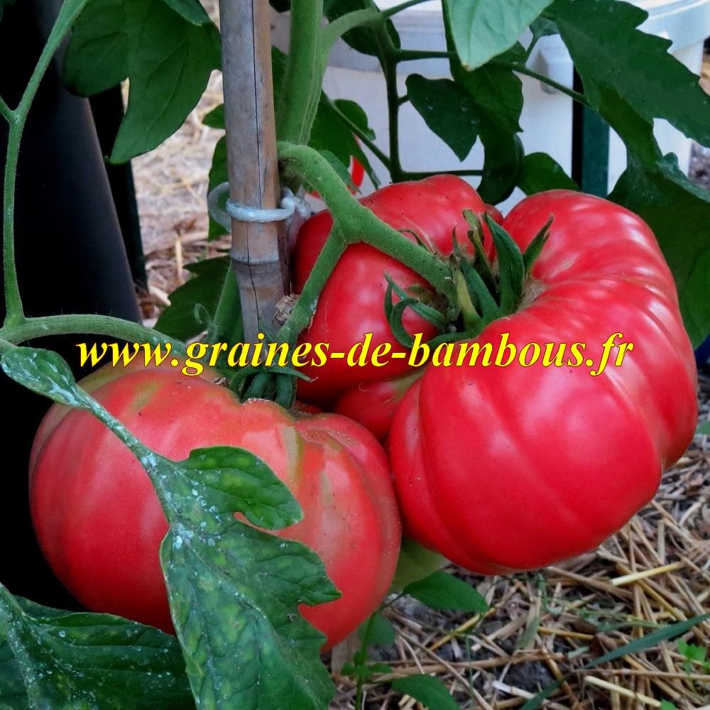 Tomate omar s lebanese graines fruit