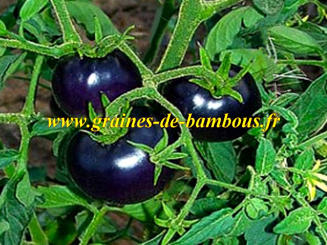 Tomate osu blue p 20 graines tomate bleue