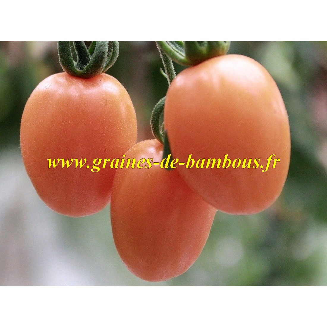 Tomate pink thai rose graines de bambous eu