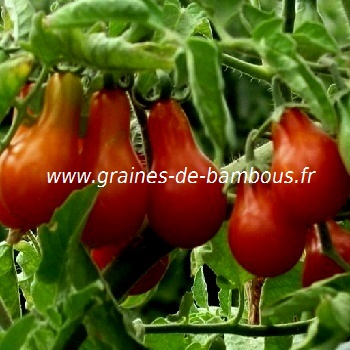 Tomate poire rouge red pear