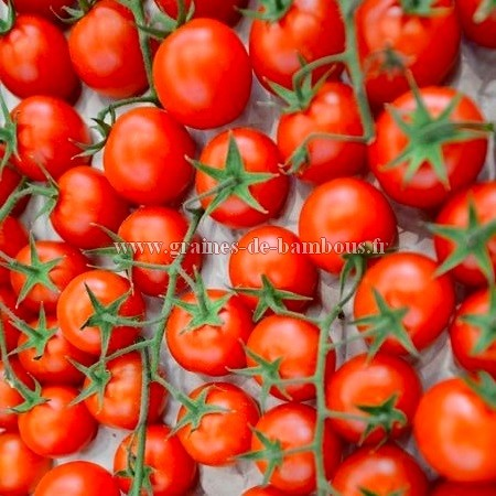 Tomate red cherry ronde