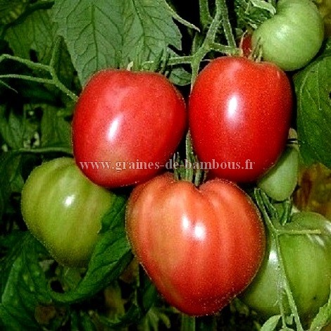 Tomate red strawberry graines