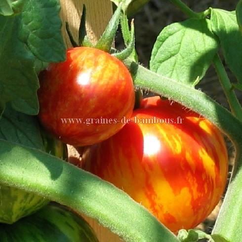 Tomate red zebra ou rouge zebra