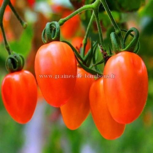 Tomate Rio Grande réf.550