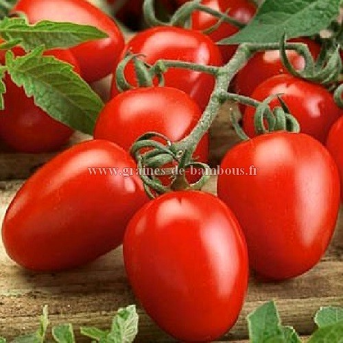 Tomate roma allongee graines