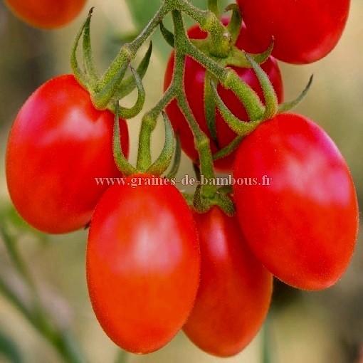 Tomate roma lycopersicon esculentum