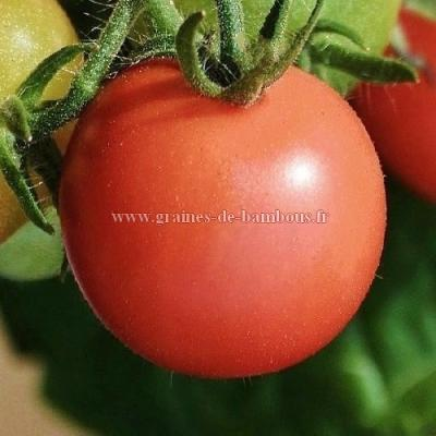Tomate Berner rose ou rose de Berne réf.28