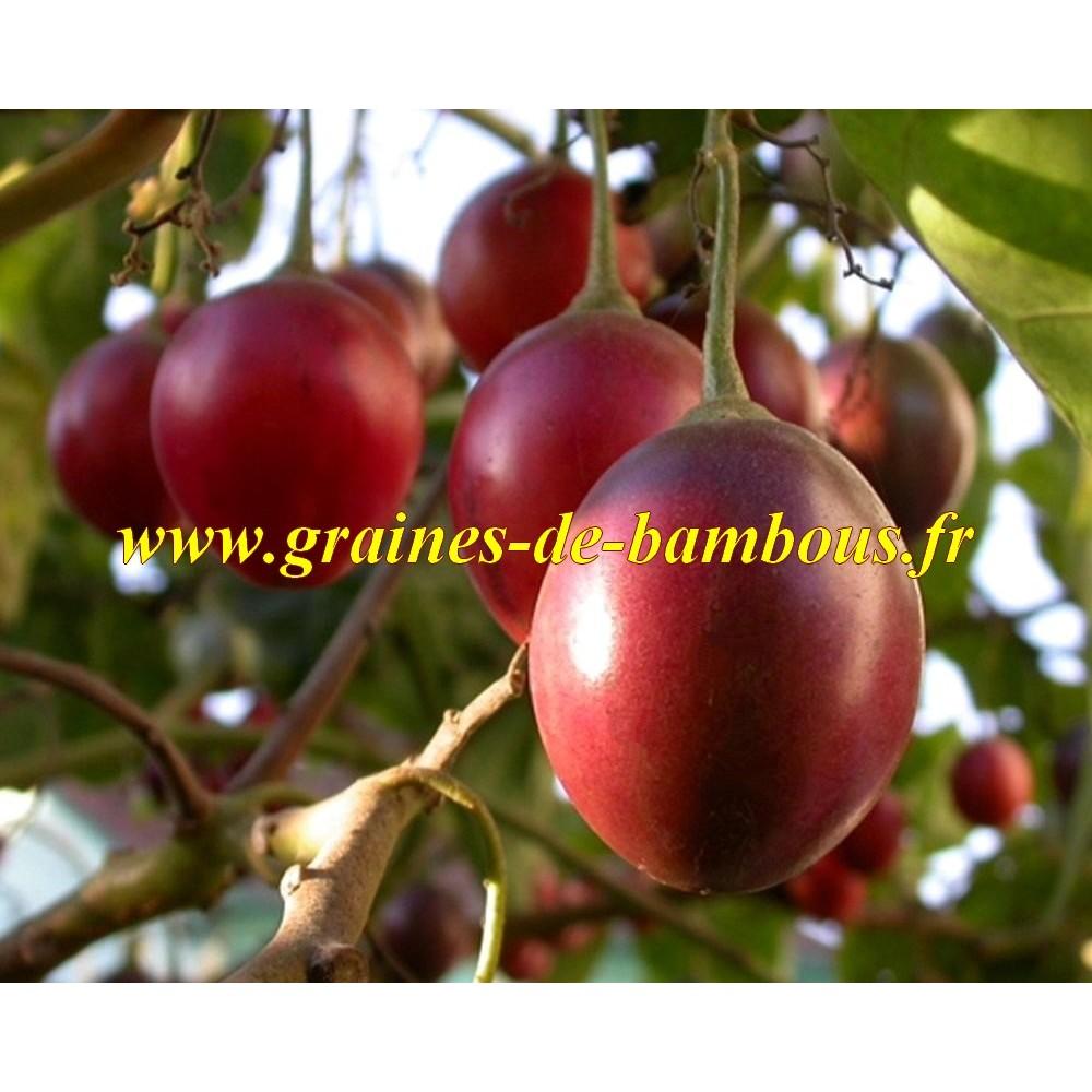 Tomate tamarillo en arbre graines de bambous eu