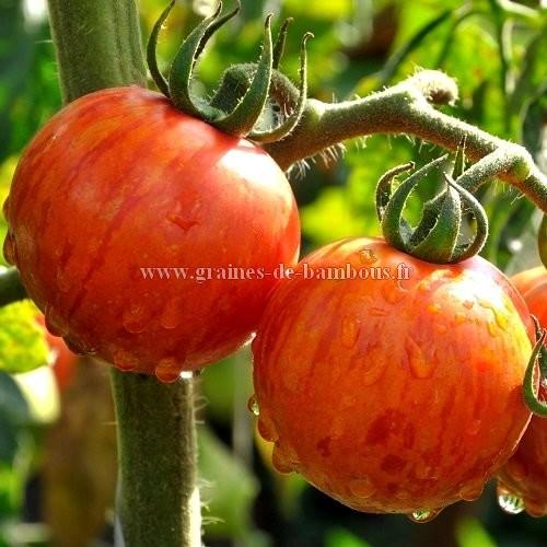 Tomate tigerella semences