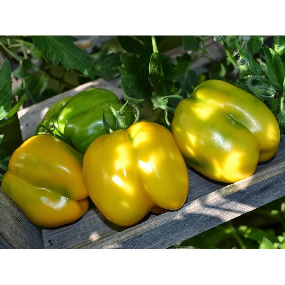 Tomate yellow stuffer jaune graines de bambous fr