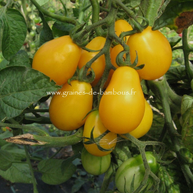 Tomate yellowsubmarine 7