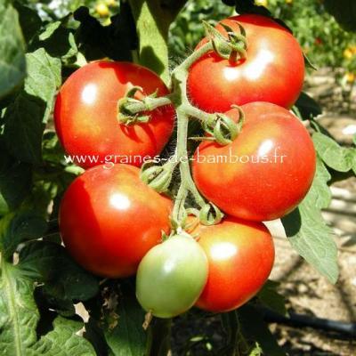 Tomate Kremser Perle Réf.818