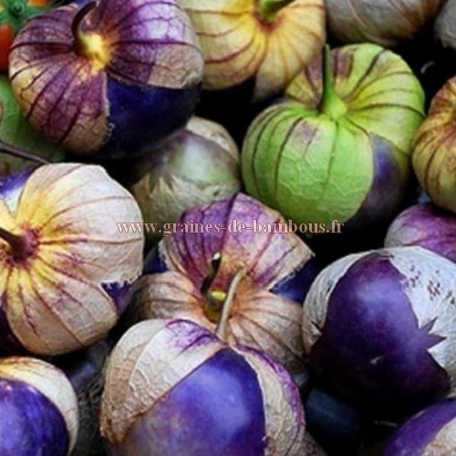 Tomatille purple graines