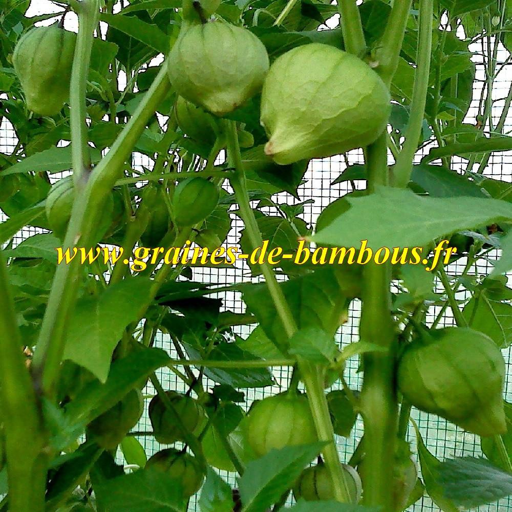 Tomatillo verde graines de bambous eu