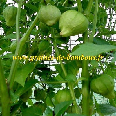 Tomatillo Verde réf.364