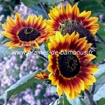 tournesol-beaute-d-automne-www-graines-de-bambous-fr-2.jpg