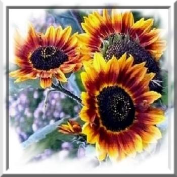 tournesol-beaute-d-automne-www-graines-de-bambous-fr-www-grainesdebambous-com.jpg