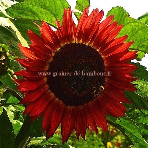 Tournesol red evening sun