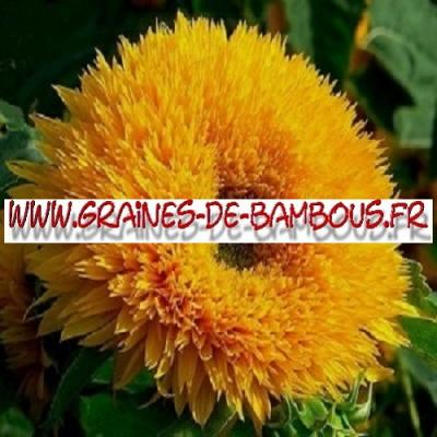 Tournesol Teddy Bear 1000 graines