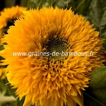 Tournesol teddy bear graines