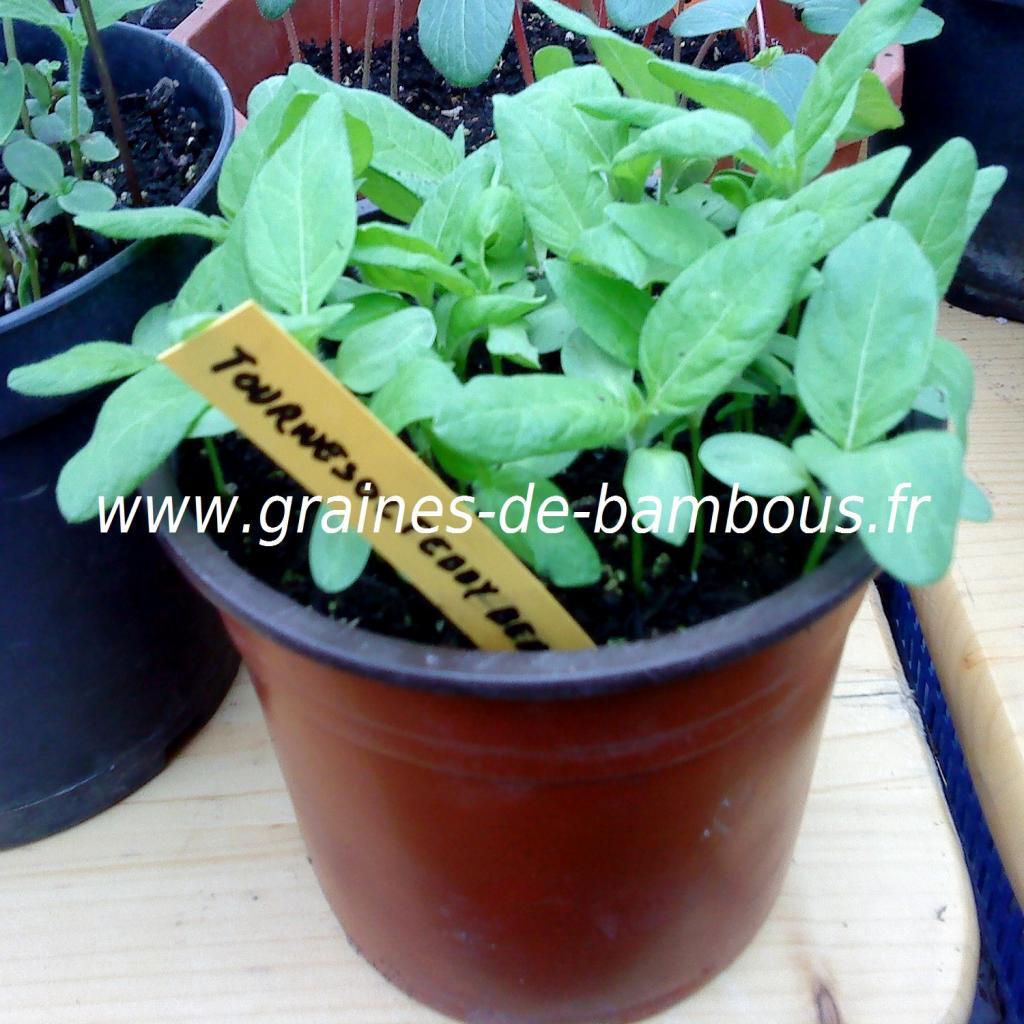 tournesol-teddy-bear-semis-www-graines-de-bambous-fr.jpg