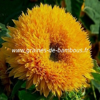 tournesol-teddy-bear-www-graines-de-bambous-fr-1.jpg
