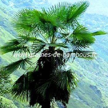 Palmier Trachycarpus takil réf.527