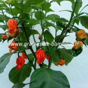 trinidad-scorpion-piment-plant-www-graines-de-bambous-fr.jpg