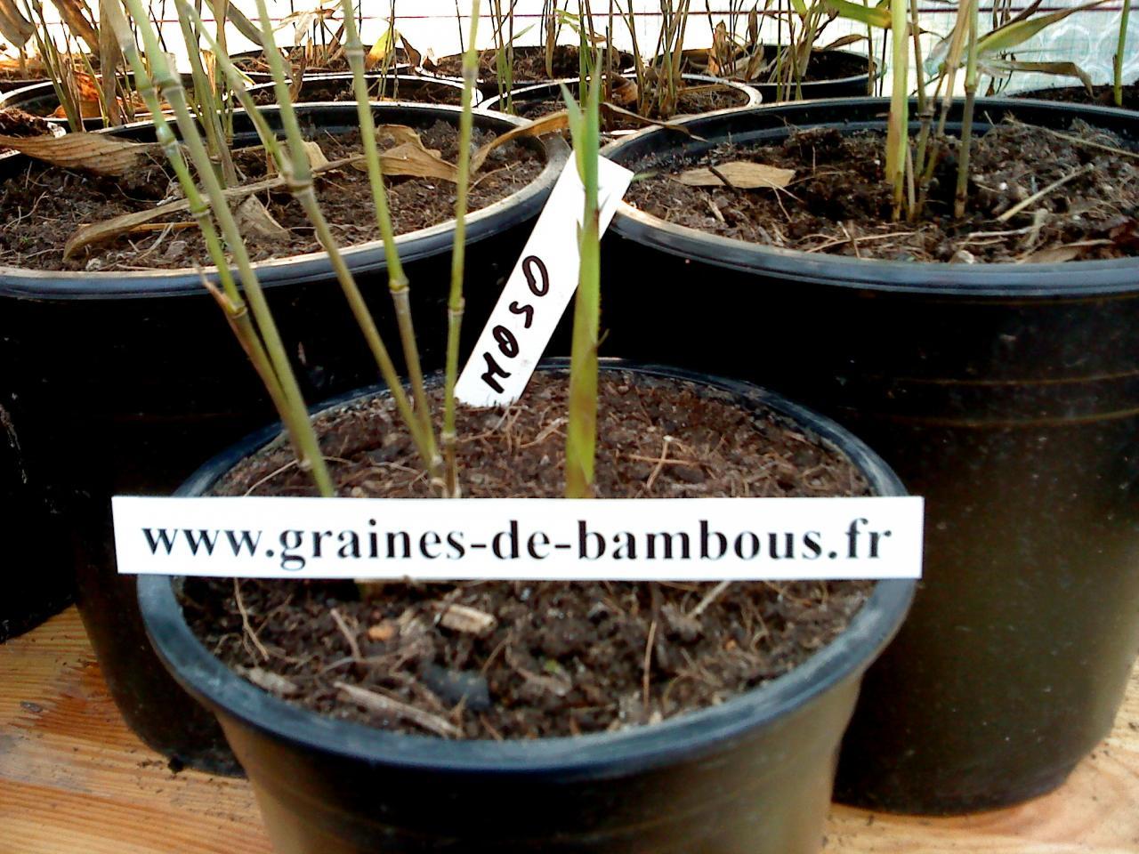 Comment Faire Pousser Bambou nos bambous issus de semis graines-de-bambous.fr