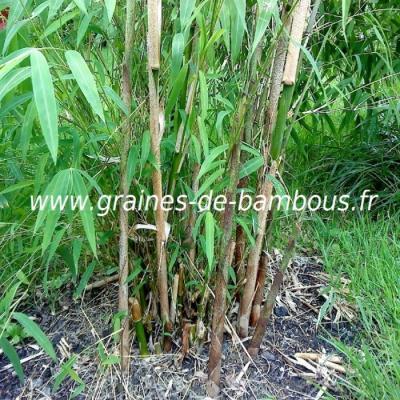 Fargésia sp.Gaolinensis 20 graines réf.120