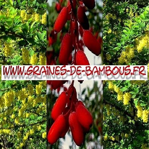 vinettier-berberis-vulgaris-1000-graines-www-graines-de-bambous-fr.jpg