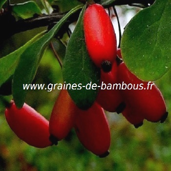 vinettier-epinette-berberis-vulgaris-www-graines-de-bambous-fr-2.jpg