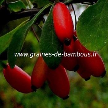 vinettier-epinette-berberis-vulgaris-www-graines-de-bambous-fr.jpg