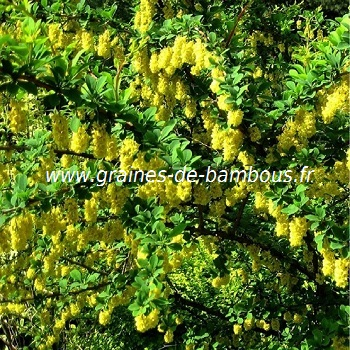 vinettier-epinette-vinette-www-graines-de-bambous-fr.jpg