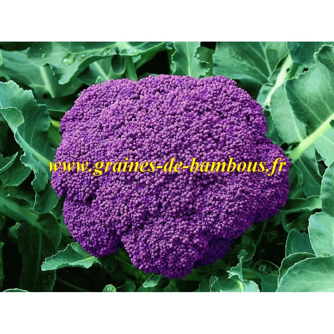 Violet de sicile semences de chou fleur