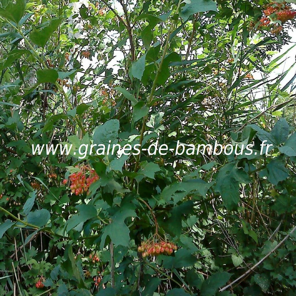 viorne-obier-viburnum-opulus-www-graines-de-bambous-fr.jpg