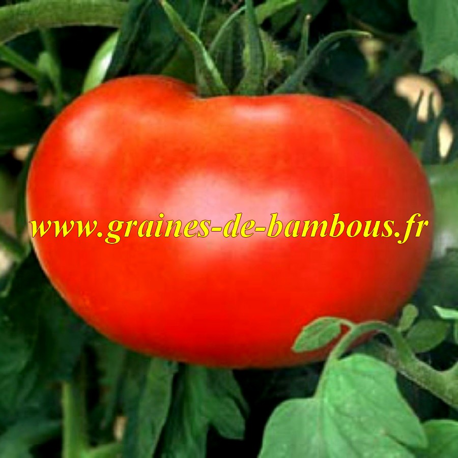 Watermelon beefsteak graines de tomate