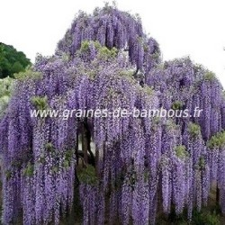 graines rares de glycine du japon wisteria floribunda. Black Bedroom Furniture Sets. Home Design Ideas