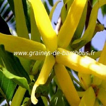 Ylang-ylang ou cananga odorata réf.427