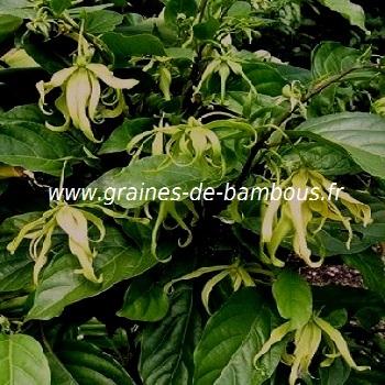 ylang-ylang-cananga-odorata-www-graines-de-bambous-fr.jpg