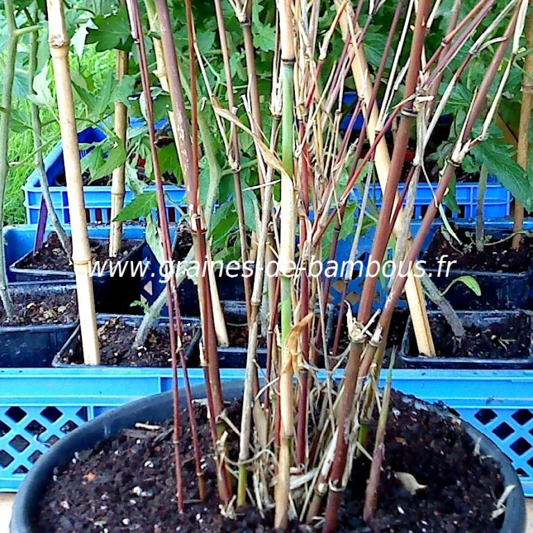 1 Plant de Bambou Yushania Fungosa F.Dadong 5 litres