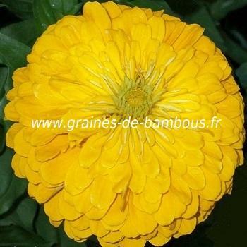 Zinnia jaune Canari réf.413