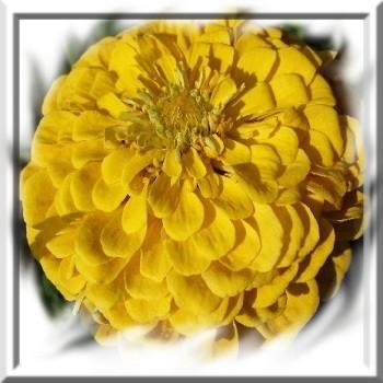 zinnia-jaune-canari-www-graines-de-bambous-fr-www-grainesdebambous-com.jpg
